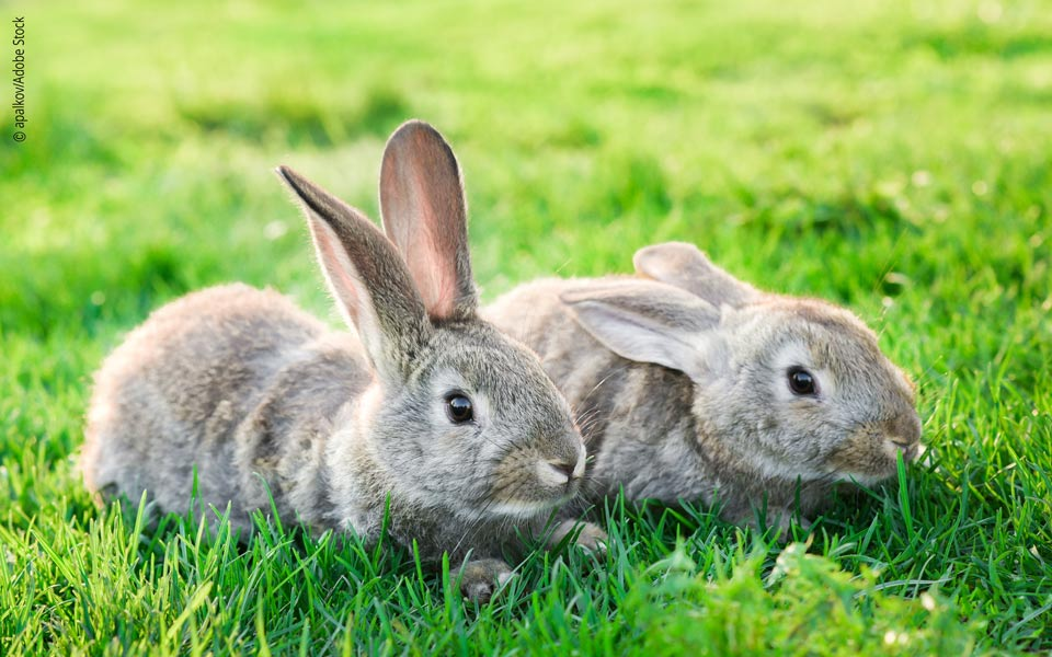 Breeding rabbits: Are Interactions Important?