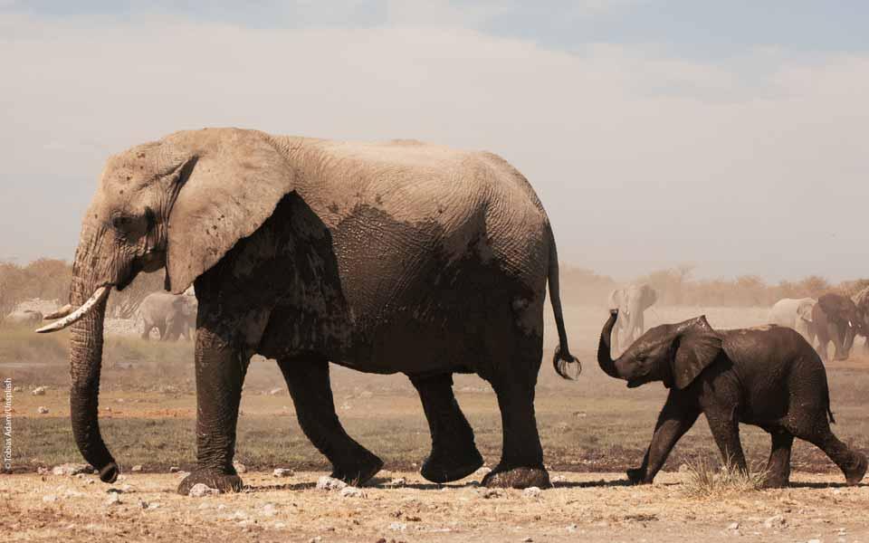 Leo Baekeland: Ein genialer Chemiker bewahrt den afrikanischen Elefanten vor der Ausrottung