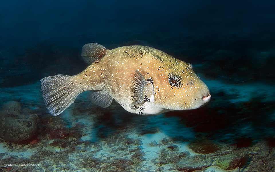 Bei Gourmets und Genomforschern beliebt: Der Kugelfisch